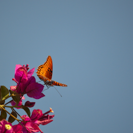 Three point landing by Brian  Boyle - Animals Insects & Spiders ( butterfly, photograph, blue sky, bougainvilea, brian boyle, photographer, bb, photography, yukonbrianboyle )