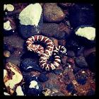 Great Basin Rattlesnake Baby