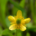 Snowpatch Buttercup