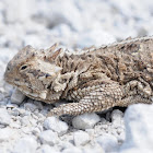Texas horned lizard (female)