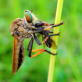 RF & prey by Okqy Setiawan - Animals Insects & Spiders ( bugs, macro photography, insects, natural, flies, robberfly,  )