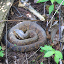 Water moccasin, cottonmouth