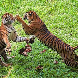 Bercengkrama.. by Ubayoedin As Syam - Animals Lions, Tigers & Big Cats