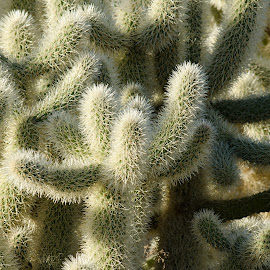 Cholla Cacti by Leslie Nu - Nature Up Close Other plants ( desert, cacti, landscapes, branches, cactus )