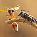 Potter Wasp & Leaf Cutter Bee