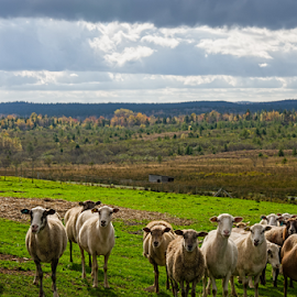 Sheep take fall group shot  by Isaac Moscovich - Animals Other Mammals ( animals, fall colors, fall, sheep, color, colorful, nature )