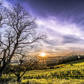 In the vineyard. by Christian Krammer - Landscapes Cloud Formations ( clouds, hill, vineyard, tree, sunset, landscape, sun )