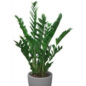 acheter mt international plante verte zamioculcas