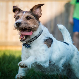 WILD THING!!! by Shawn Klawitter - Animals - Dogs Running ( jack russell terrier, pet, outdoors, dog )