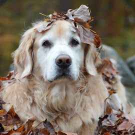 Squirt and the leaves by John Clark - Animals - Dogs Portraits ( #leaves, #goldenretriever, #fall )