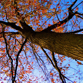 A Fall Sky by CaRina Heckert - Nature Up Close Trees & Bushes ( #bluesky, #tree, #wisconsin, #brisk, #fall,  )