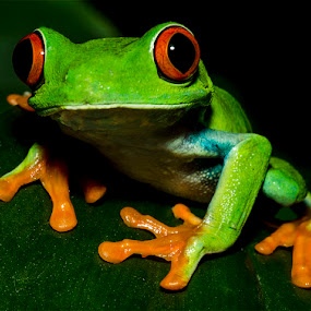 by Lisa Coletto - Animals Amphibians ( frog, amphibian, reptile,  )