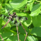 Twelve-spotted Skimmer
