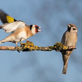 Passer montanus Vs Carduelis carduelis by Dragomir Taborin - Animals Birds