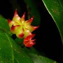 Anise Fruiting Body