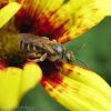 Sweat Bee - female