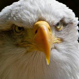 Bald Eagle by Rick Aplin - Animals Birds