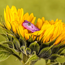 Just Chillin!! by Richard Stevens - Animals Amphibians ( macro, frog, images, sunflower, flowers, photoshop, purple, yellow, color )