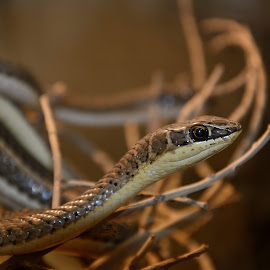 Snake  by Mohamed Mahdy - Animals Reptiles ( snake, reptiles, animals, nikon,  )