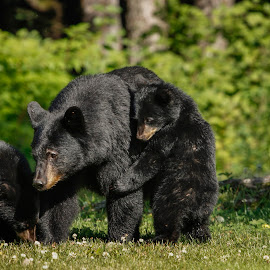 A mother's love by Adam Taylor - Novices Only Wildlife ( bears, mother'slove, alaska, juneau, onlyinalaska )