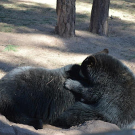 It was cleaning the other bears ear, while making a humming/growl sound. by Shannon Kitty Bear - Animals - Cats Playing