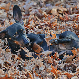 by Jeff Fox - Animals - Dogs Playing