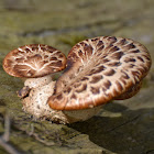 dryad's saddle