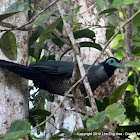 Bornean Ground Cuckoo