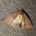 Unknown moth (♀)