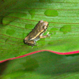 Baby Frog 1 by Cindy Brown - Animals Amphibians (  )