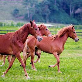 Horses riding far by Carlos Chico - Animals Horses ( animals, horses, horse )