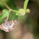 Central American Checkered-Skipper
