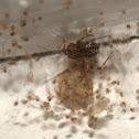 False House Button Spider with brood
