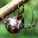 Common House Spider (Black)
