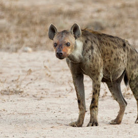 Spotted Hyena by Irvine Eidelman - Animals Other ( spotted hyena )