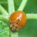 Variable Ladybird Beetle