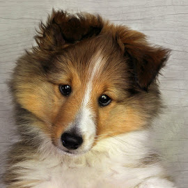 by Jane Bjerkli - Animals - Dogs Puppies ( expression, pet, shetland sheepdog, puppy, dog, sheltie, portrait, animal, norway, #GARYFONGPETS, #SHOWUSYOURPETS )