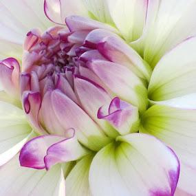 Dahlia by Viive Selg - Flowers Single Flower ( , creativity, lighting, art, artistic, purple, mood factory, lights, color, fun, colorful, vibrant, happiness, January, moods, emotions, inspiration )
