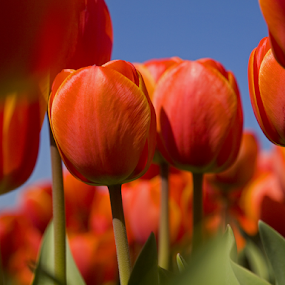 Tulip 6 by BertJan Niezing - Flowers Flower Gardens ( tulip field, tulip, holland, summer, sun )