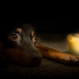 Glowing Loyalty by Jason Nordby - Animals - Dogs Portraits ( candle, candlelight, candle light, terrier, manchester terrier )