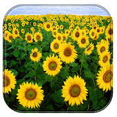 Download Sunflower Live Wallpaper APK