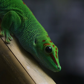 The Gecko by Renee East - Animals Reptiles ( gecko lizard reptile green animal )