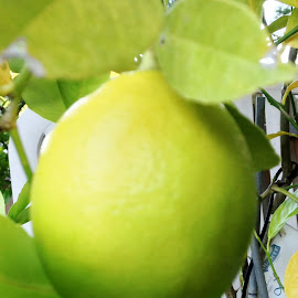 MY Lemon by Carol Huttemann - Food & Drink Fruits & Vegetables