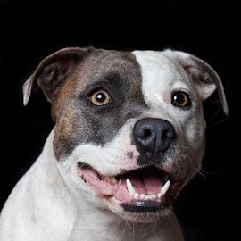 Moo by Sue Niven - Animals - Dogs Portraits ( studio, tricolour, dog, staffie, portrait )