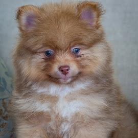 Teddy Bear by Dan Dimitriu - Animals - Dogs Puppies ( fluffy, dog portrait, puppy, baby, dog, pomeranian )