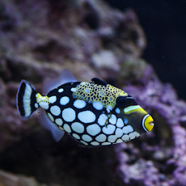 pesce balestra by Franco Menenti - Animals Fish ( reef, fish, colors,  )
