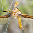 Long antennae crane fly