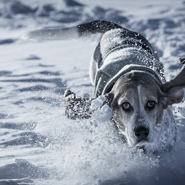 Snowbound by Drew Labor Day - Animals - Dogs Running ( dogs, winter, connie, snow )