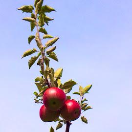 An Apple a Day - Be Strong by Bridget Wegrzyn - Food & Drink Fruits & Vegetables ( apple apples fall,  )