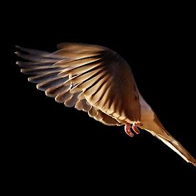 Wings of Gold by Liz Crono - Animals Birds ( flight, doves, gold, birds )